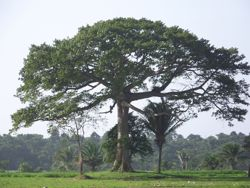 Сейба Хлопковое дерево.